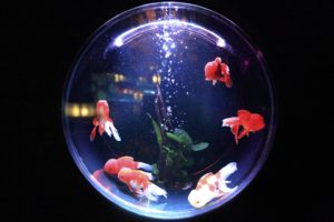 aquarium with red fish