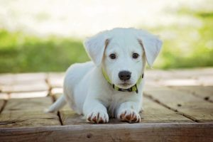 A small white dog with a tagged collar.
