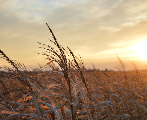 Serene scene featuring corn and a sunset in the American Midwest.
