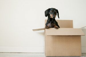 An incredibly cute black puppy in a moving cardboard box.